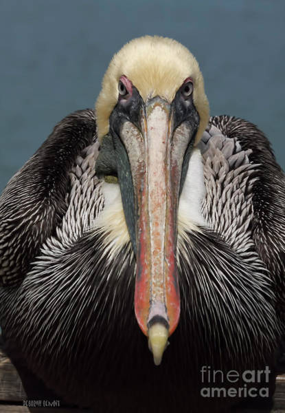 Photograph - Pelican Stare by Deborah Benoit