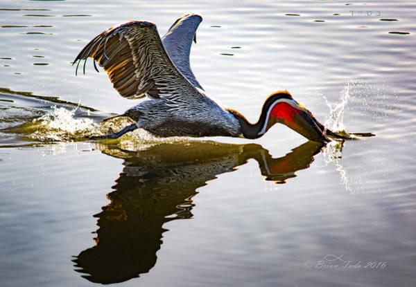 Bird Strike Wall Art - Photograph - Pelican Strike by Brian Tada