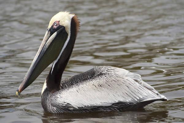 Photograph - Pelican by Sven Brogren