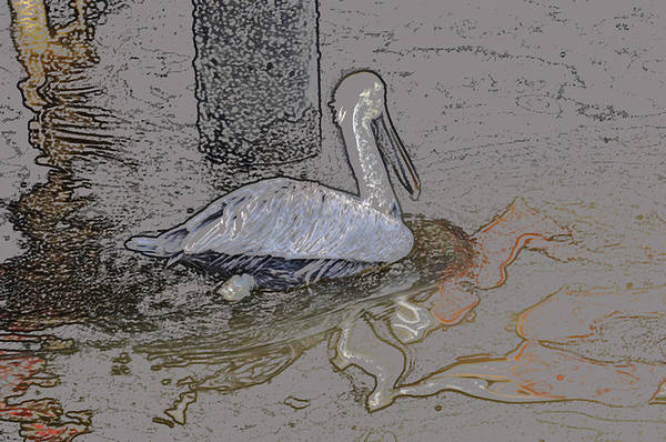 Digital Art - Pelican Swim IIi Color Pencil by Jody Lovejoy