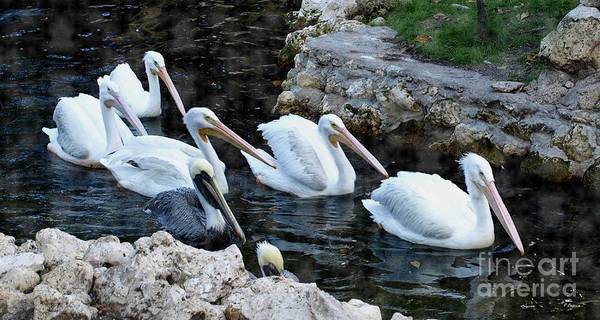 Mixed Media - Pelican Swim by Philip Bracco