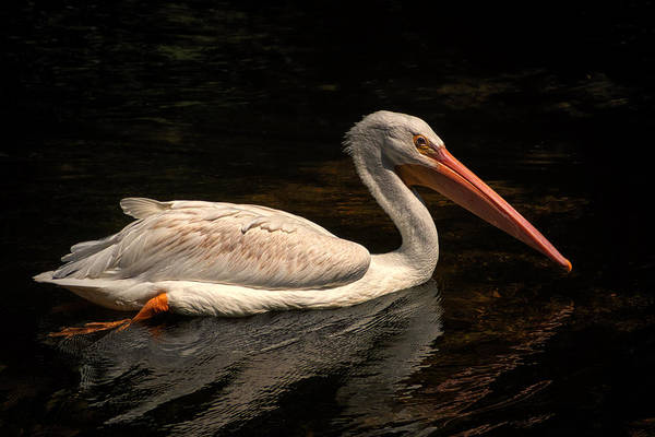 Pelican Swimming In Salisbury Art Print