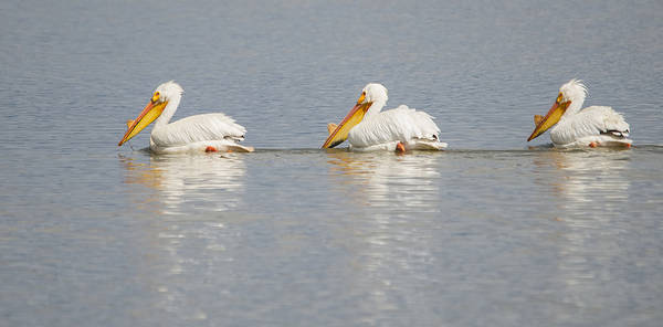 Photograph - Pelican Trifecta by Loree Johnson