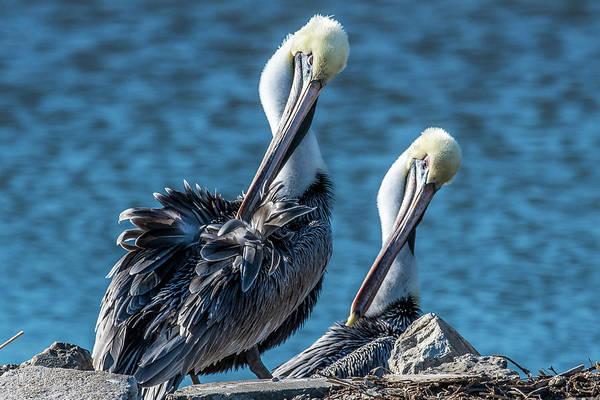 Wall Art - Photograph - Pelican Twins by Paul Freidlund