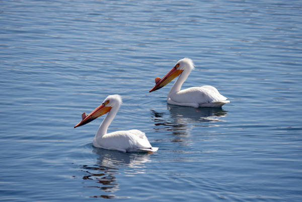 Wall Art - Photograph - Pelican Twins by Whispering Peaks Photography