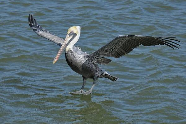 Photograph - Pelican Walks On Water by Bradford Martin