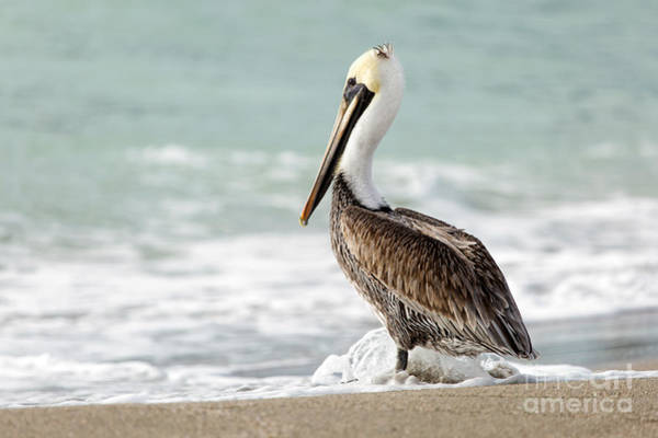 Photograph - Pelican Waves by Karin Pinkham