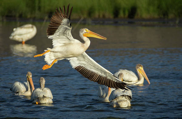 Photograph - Pelicans 1 by Rick Mosher