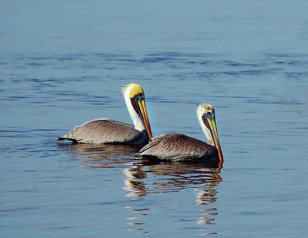 Pelicans 2 Together Art Print