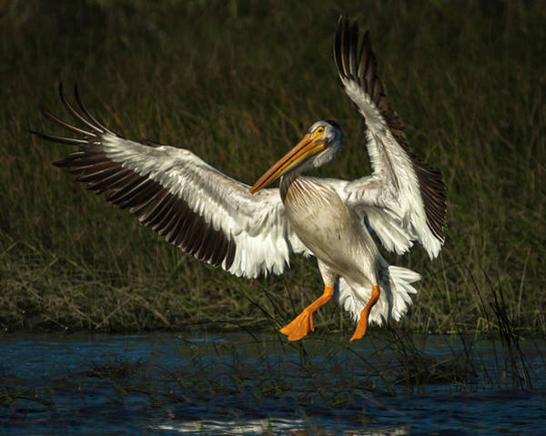 Photograph - Pelicans 4 by Rick Mosher