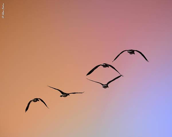Photograph - Pelicans by Alexander Fedin