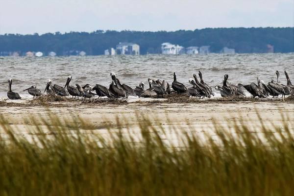 Wall Art - Photograph - Pelicans At Fish Haul Creek by Mary Ann Artz