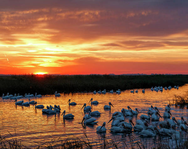 Photograph - Pelicans At Sunrise by Rob Graham