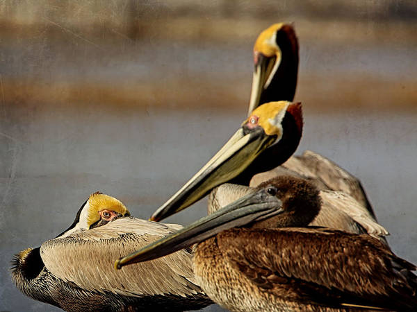 Photograph - Pelicans by Charles McKelroy
