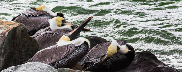 Photograph - Pelicans by Ed Gleichman