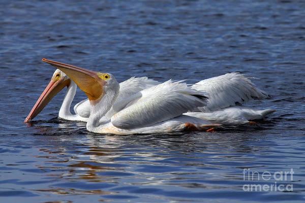 Pelicans Feeding Art Print by Rick Mann