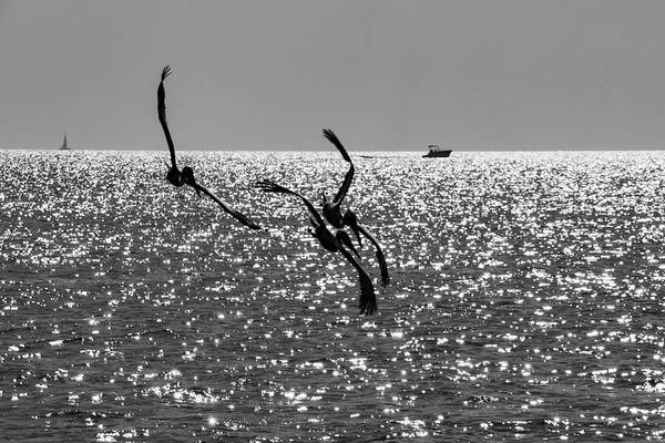 Photograph - Pelicans Flying By - Black And White by Bob Slitzan