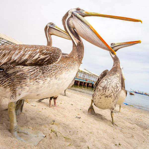 Photograph - Pelicans by Gary Gillette