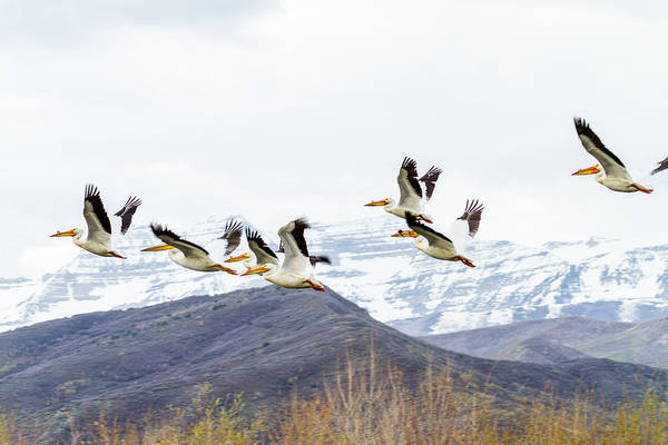Photograph - Pelicans In Flight by TL  Mair