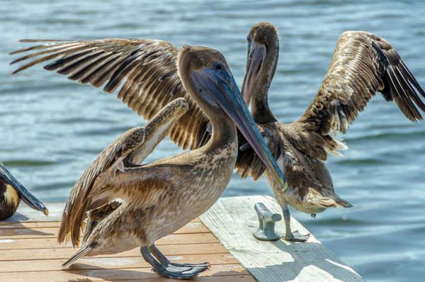 Photograph - Pelicans Of Lantana by Wolfgang Stocker