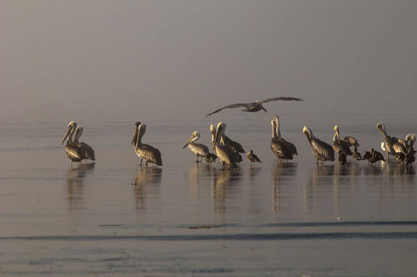 Photograph - Pelicans On Beach by Robert Potts