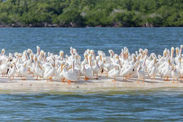 Photograph - Pelicans On Sandbar by Paul Schultz