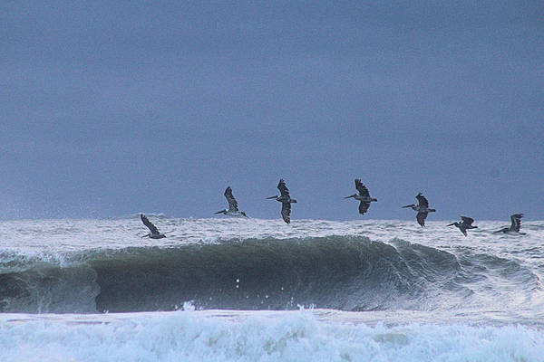 Photograph - Pelicans Over A Wave by Robert Banach
