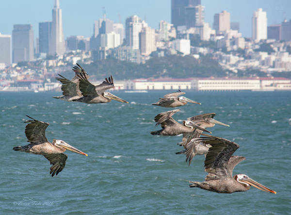 Pelicans Over San Francisco Bay Art Print