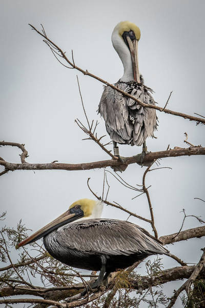 Wall Art - Photograph - Pelicans Roosting by Paul Freidlund