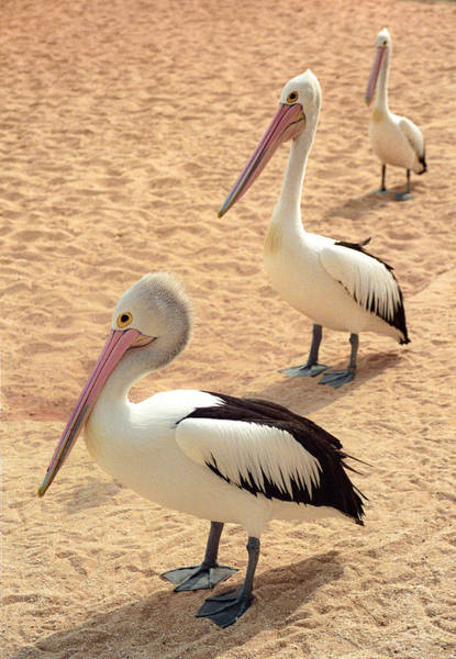 Photograph - Pelicans Seriously Chillin' by T Brian Jones