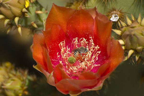 Photograph - Pencil Cholla Flower With Bee by Richard Henne