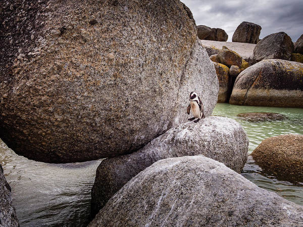 Wall Art - Photograph - Penguin At Boulders Beach by Mike Walker