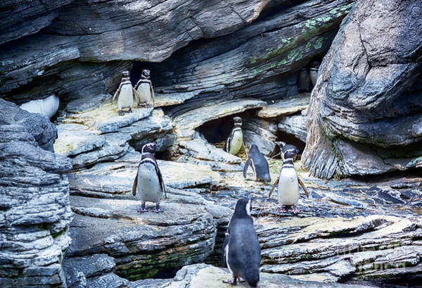 Photograph - Penguins Family by Ariadna De Raadt