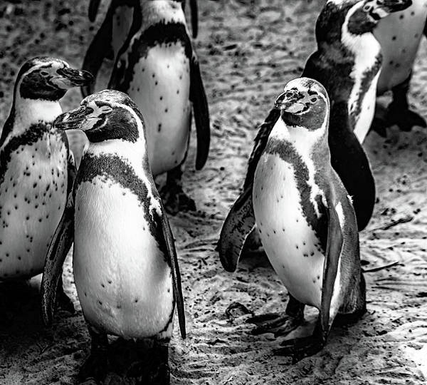 Wall Art - Photograph - Penguins by Martin Newman