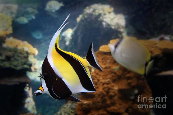 Hawaiian Fish Photograph - Pennant Coralfish by DJ Florek