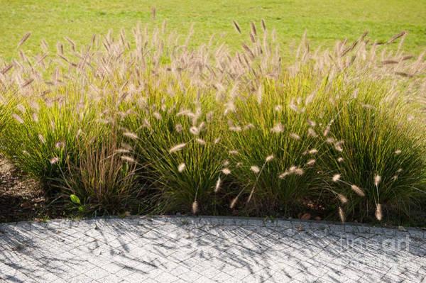 Pennisetum Photograph - Pennisetum Alopecuroides Grasses by Arletta Cwalina