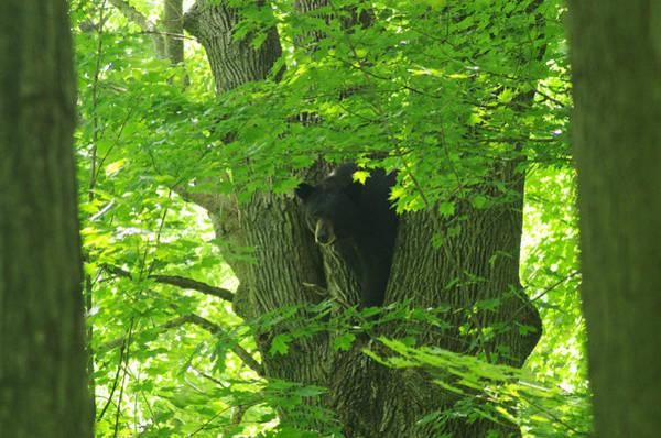 Wall Art - Photograph - Pennsylvania Black Bear 4 by Amy-Elizabeth Toomey