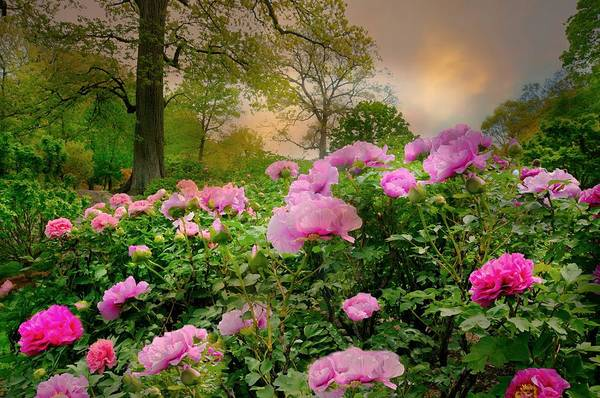 Wall Art - Photograph - Peonies At Dusk by Diana Angstadt