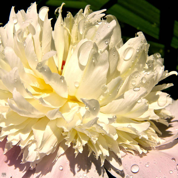 Photograph - Peony After Rain by John Meader
