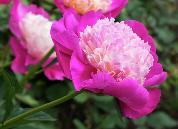Photograph - Peony by Chris Berrier