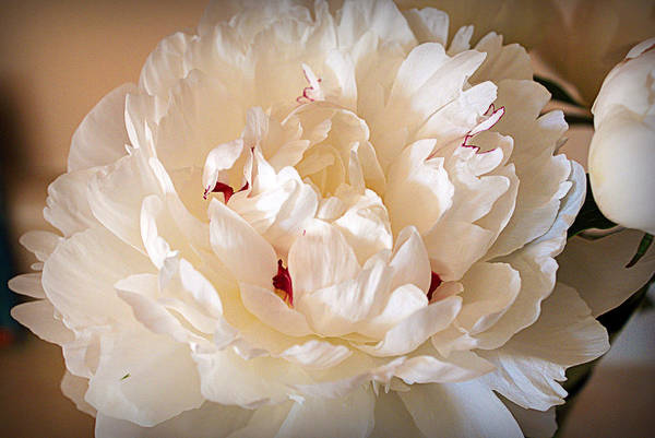 Photograph - Peony by Cricket Hackmann