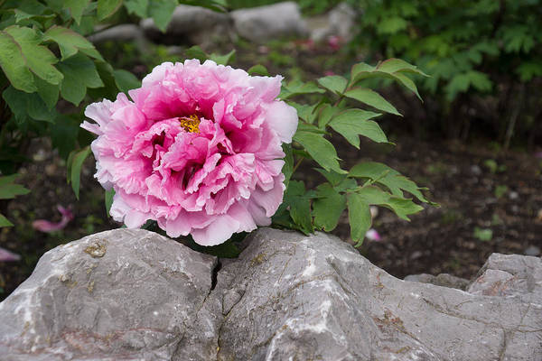 Photograph - Peony On The Rocks - The Marvels Of Spring by Georgia Mizuleva