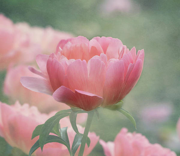 Photograph - Peony Perfection by Kim Hojnacki