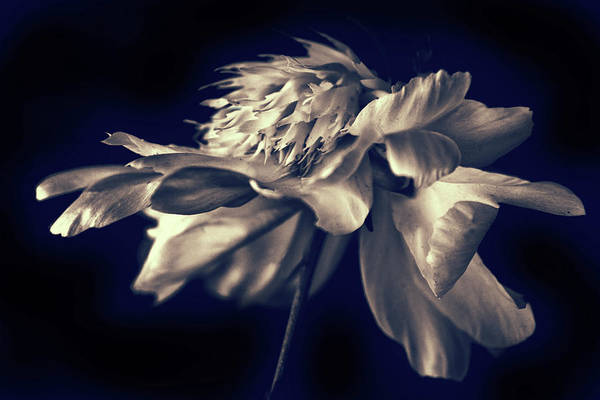 Photograph - Peony Pirouette by Jessica Jenney