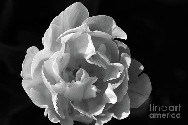 Photograph - Peony Tulip Black And White by Karen Adams
