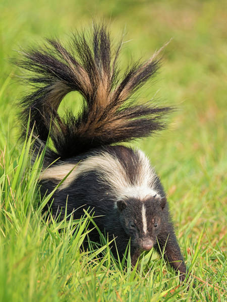 Photograph - Pepe Le Pew by Loree Johnson