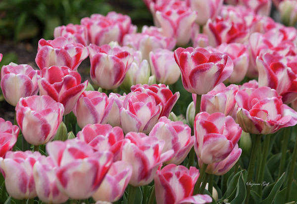 Wall Art - Photograph - Peppermint Tulip Field IIi by Suzanne Gaff