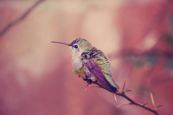 Hummingbird Wings Photograph - Perch by Laurie Search