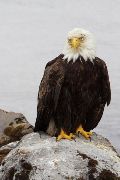 Photograph - Perched Bald Eagle by Brandy Little