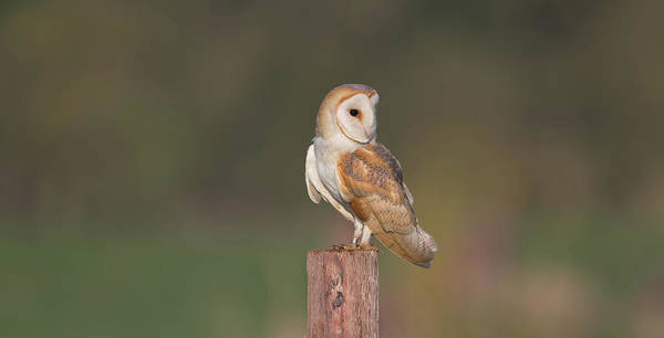 Photograph - Perched Barn Owl by Peter Walkden